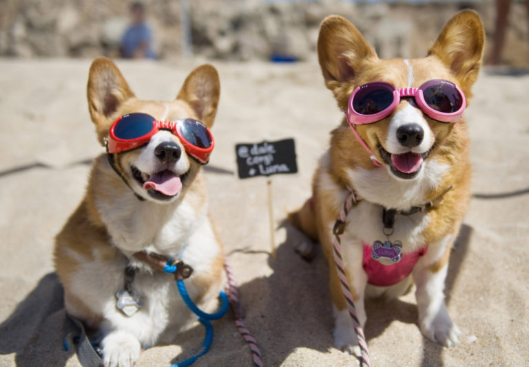 Dale and Luna are ready for a day of fun in the sun during the Southern California Corgi Beach Day in Huntington Beach. They duo, owned by Siu Lee, have more than 11,000 social media followers. ///ADDITIONAL INFORMATION: – MINDY SCHAUER, ORANGE COUNTY REGISTER – shot 041115 CorgiBeachDay.0412 Southern California Corgi Beach Day with more than 500 low-legged caninesexpected to attend in Huntington Beach. The event includes a meet and greet, costume contest, limbo contest, and more fun than fetching a stick.